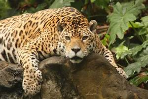Dessin Jaguar Facile : encyclop die larousse en ligne jaguar ~ Maxctalentgroup.com Avis de Voitures