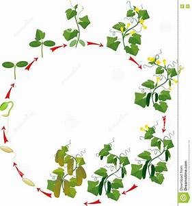 Cucumber Plant Growth Cycle Stock Vector