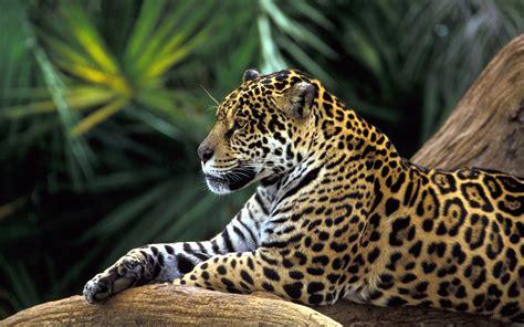 pictures jaguar cat jaguar animals cats
