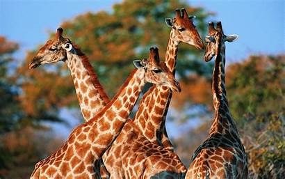Giraffe Animals