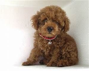 small brown fluffy dog Quotes