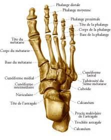Pied De Le by Les Os De La Jambe Et Du Pied Planches Anatomiques