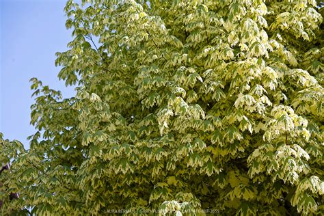 varigated maple tree variegated harlequin maple acer platanoides drummondii greenfuse photos garden farm