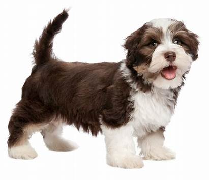 Havanese Breed Dog Dogs Nose Puppies Brown