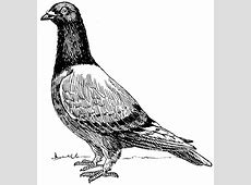 FileHoming Pigeon PSFpng The Work of God's Children