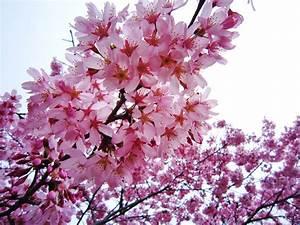 Rosa Blüten Baum : sunshine for japan ~ Yasmunasinghe.com Haus und Dekorationen