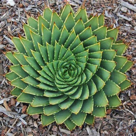 other plants seeds bulbs 5pcs buy 5pcs aloe polyphylla seeds amazing courtyard plant bazaargadgets com
