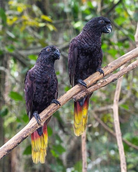 Parrot Encyclopedia Black Lory World Parrot Trust