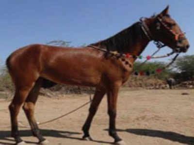 gujarat     indigenous livestock breeds rajkot