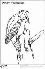 Woodpecker Coloring Downy Woodpeckers Bird Woody Drawings Printable Colors Adults Head Kleuren Cartoon Voor Volwassenen Outline sketch template