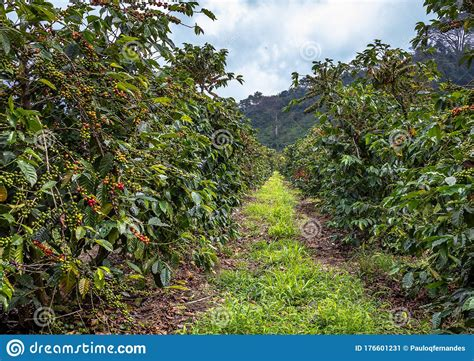 See coffee tree stock video clips. Coffee Beans on Trees stock image. Image of crop, growing - 176601231