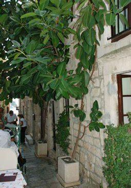 gummibaum im freien der gummibaum als zimmerpflanze braucht wenig licht
