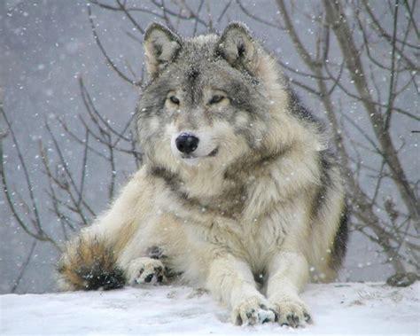 le loupe de bureau le loup gris de loup officiel d