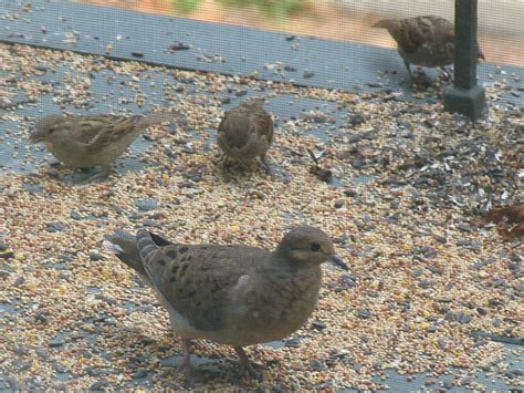 mourning dove sparrow birds seed feed group flickr