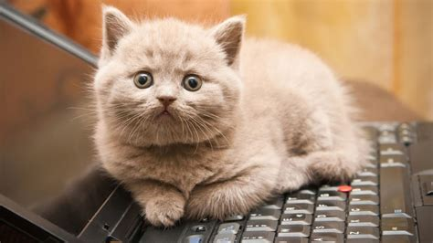 what of cat do i why cats love sitting on keyboards