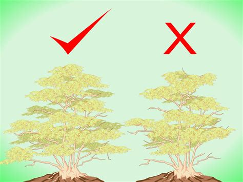 how to shape a maple tree the best way to prune japanese maple trees wikihow