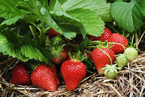ideas for strawberries 10 tips for growing strawberries plant instructions