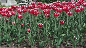Tulpenzwiebeln Im Frühjahr Pflanzen : tulpen pflanzen tulpenzwiebeln im eigenen garten anbauen plantura ~ A.2002-acura-tl-radio.info Haus und Dekorationen