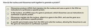 Solved  How Do The Nucleus And Ribosomes Work Together To