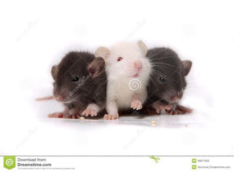 Baby Rats Stock Photo - Image: 48871633