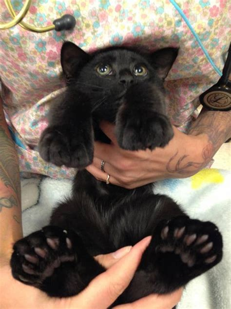 paws cats toes feet kitty cat extra polydactyl funny rescue kittens giant panda cute animal showing paw animals gifs foot