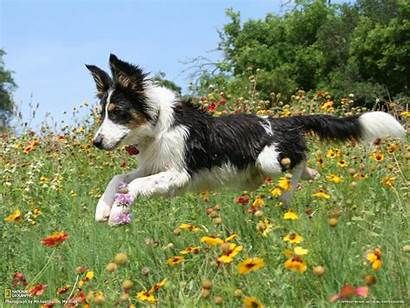 Collie Border Running Wallpapers Dogs Meadow Dog