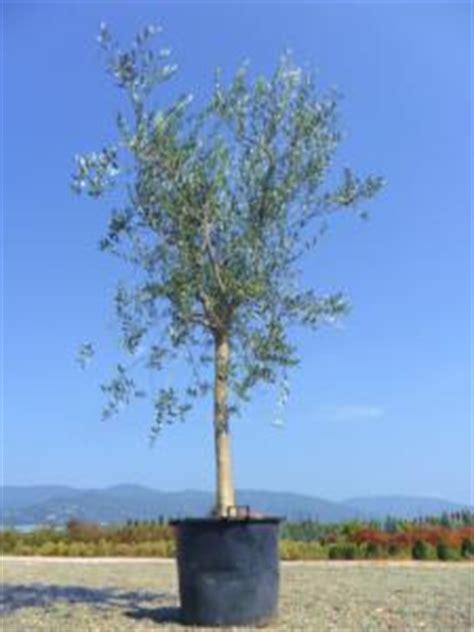 olivier en pot perd ses feuilles olivier en pot qui perd ses feuilles 28 images citronnier qui perd ses feuilles sans titre