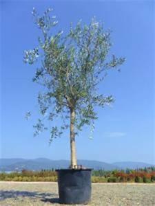 Arbres A Pousse Tres Rapide : arbres feuillage persistant jardinier pro ~ Premium-room.com Idées de Décoration