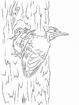 Coloring Pages Woodpecker Birds Woodpeckers Printable Colors Template Recommended sketch template