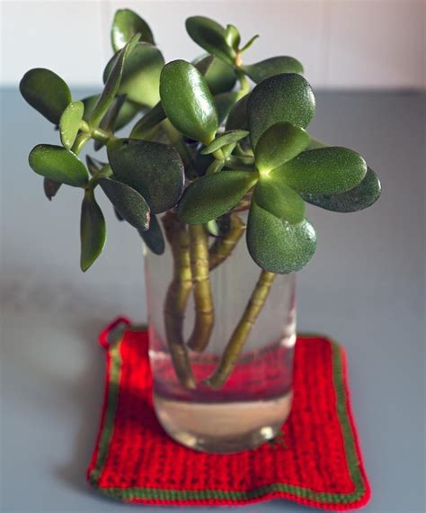 Images Of Money Tree Truly Excellent Tips On Caring For A Money Tree Plant