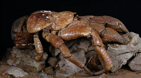 Decorator Crabs Are Bottom Dwelling Or by History Collections True Crabs