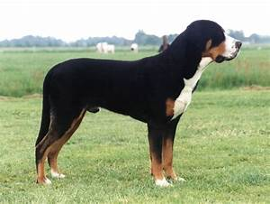 Greater Swiss Mountain Dog Breed Guide - Learn about the ...