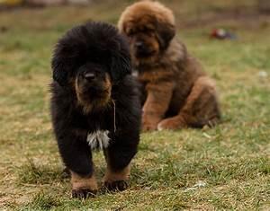 C-Litter | Tibetan Mastiff | Kennel Dommichang