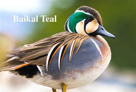 Russia Duck Hunting Kamchatka Alaska Duck Hunting Guides