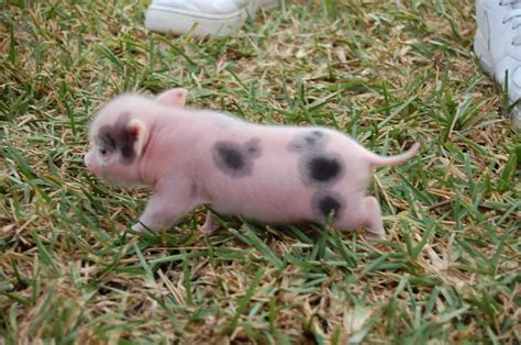 mini pot belly pig teacup pot belly pigs micro mini pot bellied teacup piglets miniature pigs pot belly florida