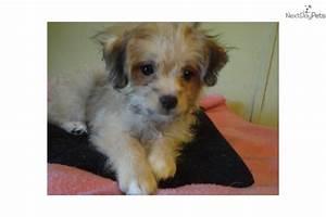 Jojo Chipoo, cutie pie- texaspuppypal.com | Chi-Poo ...