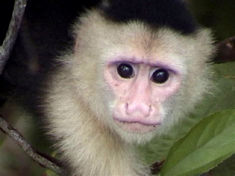 capuchin monkey hd animals wallpapers pictures of monkeys spider monkey baby capuchin monkey squirrel monkey