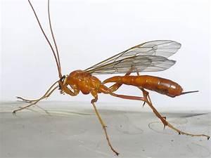 Ameisen Mit Flügel : hilfe unbekanntes insekt schlupfwespe hymenoptera hautfl gler bienen wespen ~ Buech-reservation.com Haus und Dekorationen