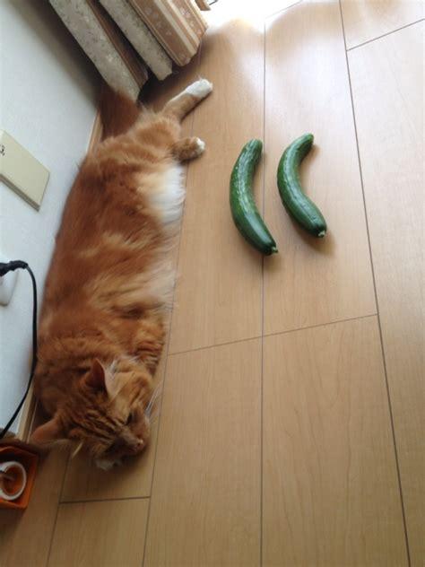cucumber cat cat cucumber makopon s cats