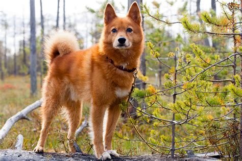 Is the Finnish spitz dog a good domestic pet?   Pets4Homes