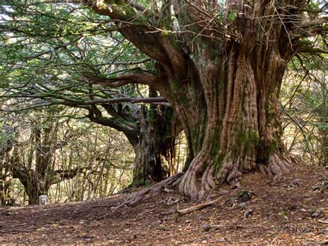 pictures of yew trees no spoilers the old gods are watching wait are they asoiaf