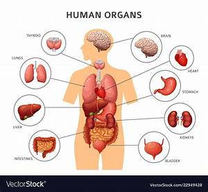 Human Anatomy Organs Diagram