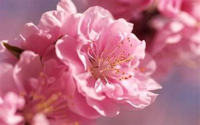 Prunus Blossoms Mume Blossom Cherry Flowers Sakura