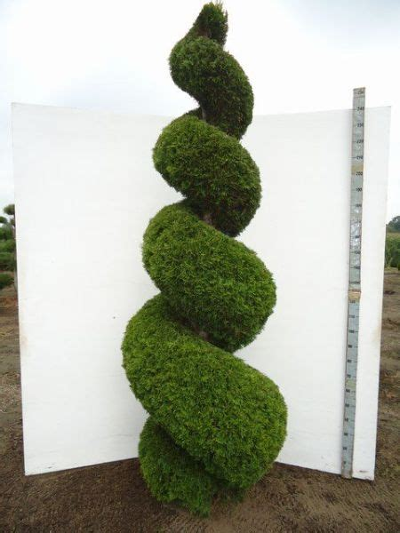 thuja occidentalis smaragd spirale  cm conifers