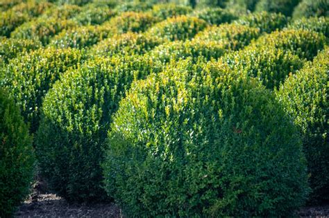boxwood poisonous cats dogs both