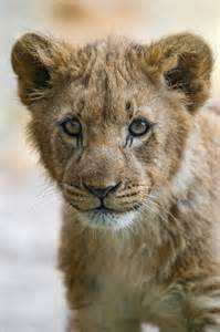 Lion Cub Animals