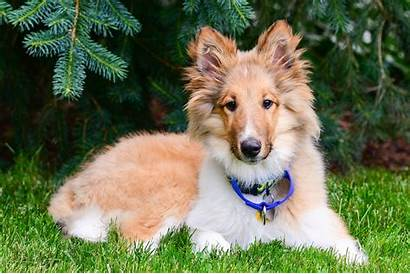 Collie Rough Puppies Puppy Owner Should