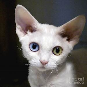 Odd-eyed Kitten Photograph by Glennis Siverson