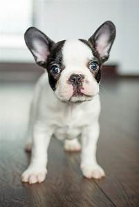 French Bulldog Puppy Wallpaper 2951 Best Wallpapers French ...