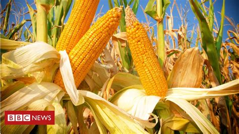 Ancient corn cob shows how maize conquered the world - BBC ...